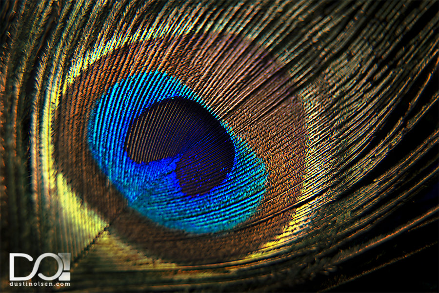 Peacock2_Macro_DustinOlsen