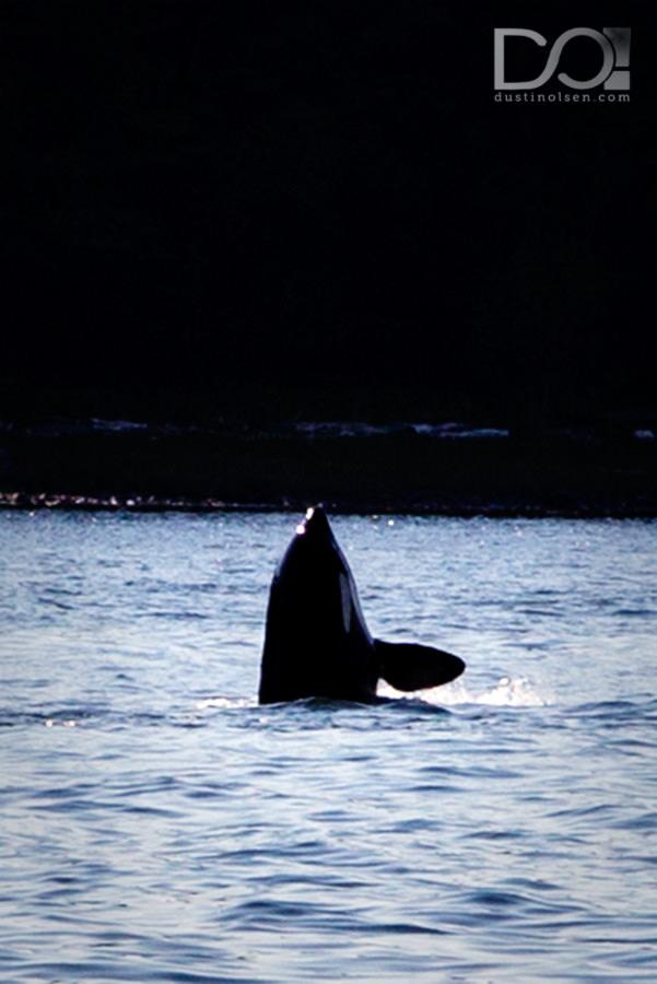 WhaleWatching4_JuneauAK_DustinOlsen
